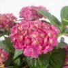 Hydrangea macrophylla Pink-2