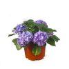 Hydrangea macrophylla Purple