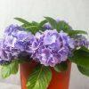 Hydrangea macrophylla Purple-2