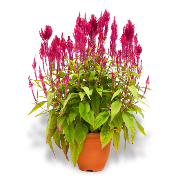 Chinese New Year flowers and plants plume celosia red