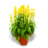 Chinese New Year flowers and plants plume celosia yellow