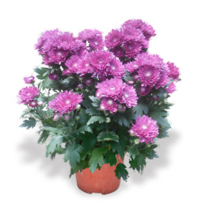 Chinese New Year plants chrysanthemum flowers purple