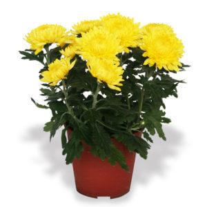 Chinese New Year plants chrysanthemum flowers yellow