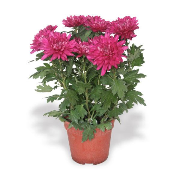 Chinese New Year plants chrysanthemum flowers dark pink