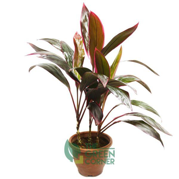 Cordyline fruticosa 'Inscripta' | The Green Corner