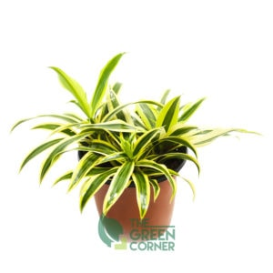 Dracaena reflexa 'Song of India' - The Green Corner