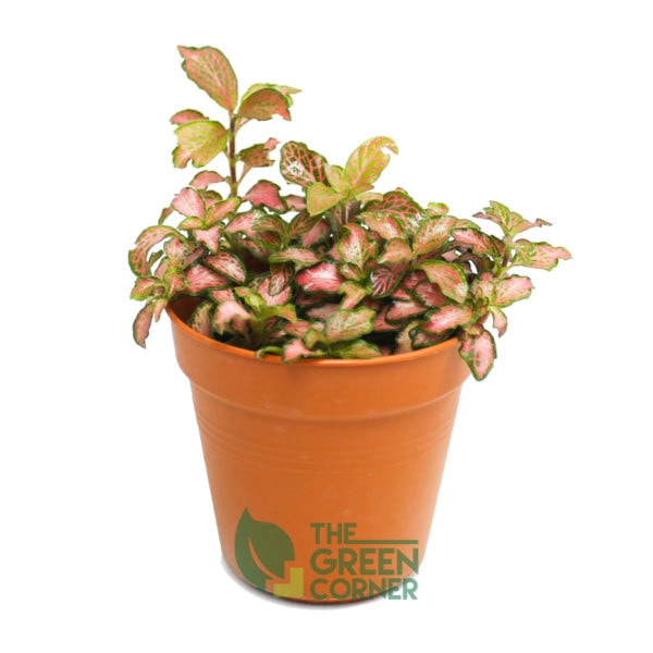 Fittonia albivenis Pink | The Green Corner