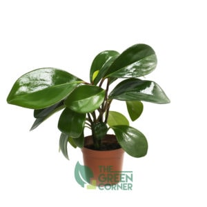 Peperomia obtusifolia | The Green Corner