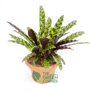 Calathea insignis | The Green Corner