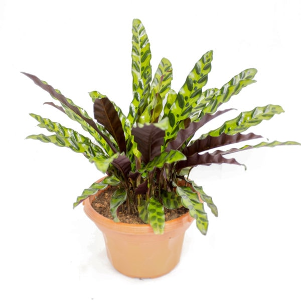 Calathea insignis by Prince's