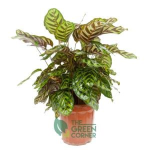 Calathea makoyana | The Green Corner