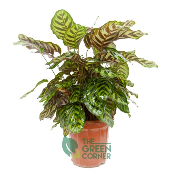 Calathea makoyana | The Green Corner