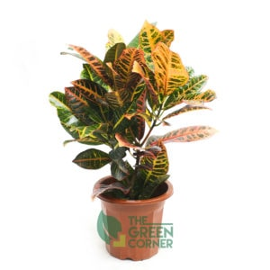 Codiaeum variegatum | The Green Corner