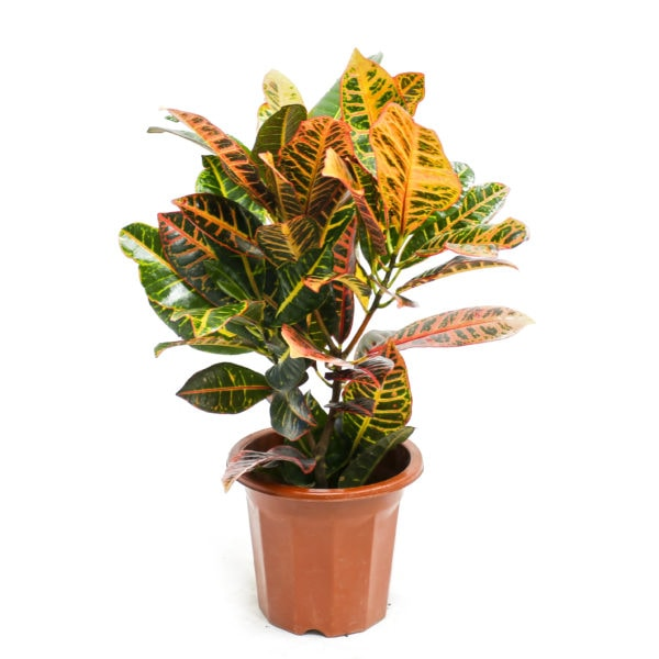 Codiaeum variegatum cultivars by Prince's