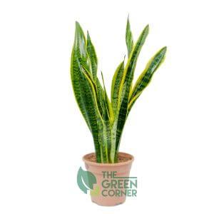 Sansevieria trifasciata | The Green Corner