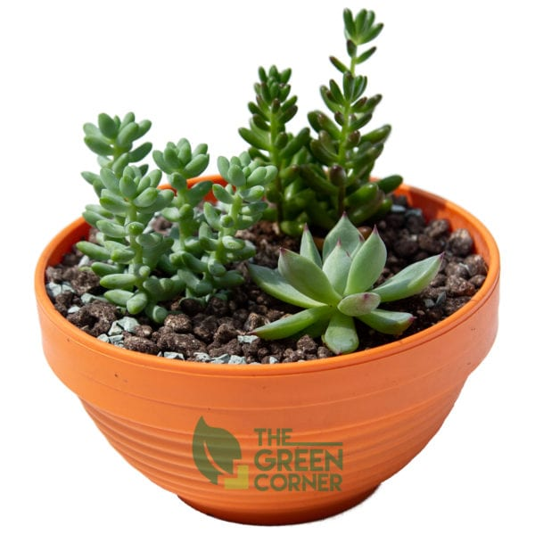 Succulent Forest | The Green Corner