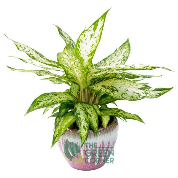 Aglaonema in Small Pink Ceramic Pot
