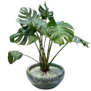 Monstera deliciosa in Ceramic Pot