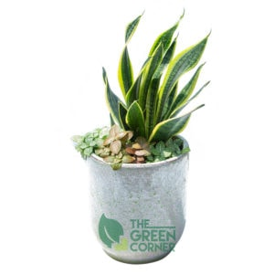 Sansevieria Arrangement Product