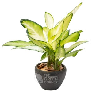 Dieffenbachia Camilla in Ceramic Pot