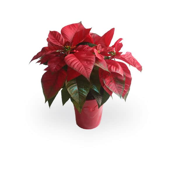 Red Poinsettia Product