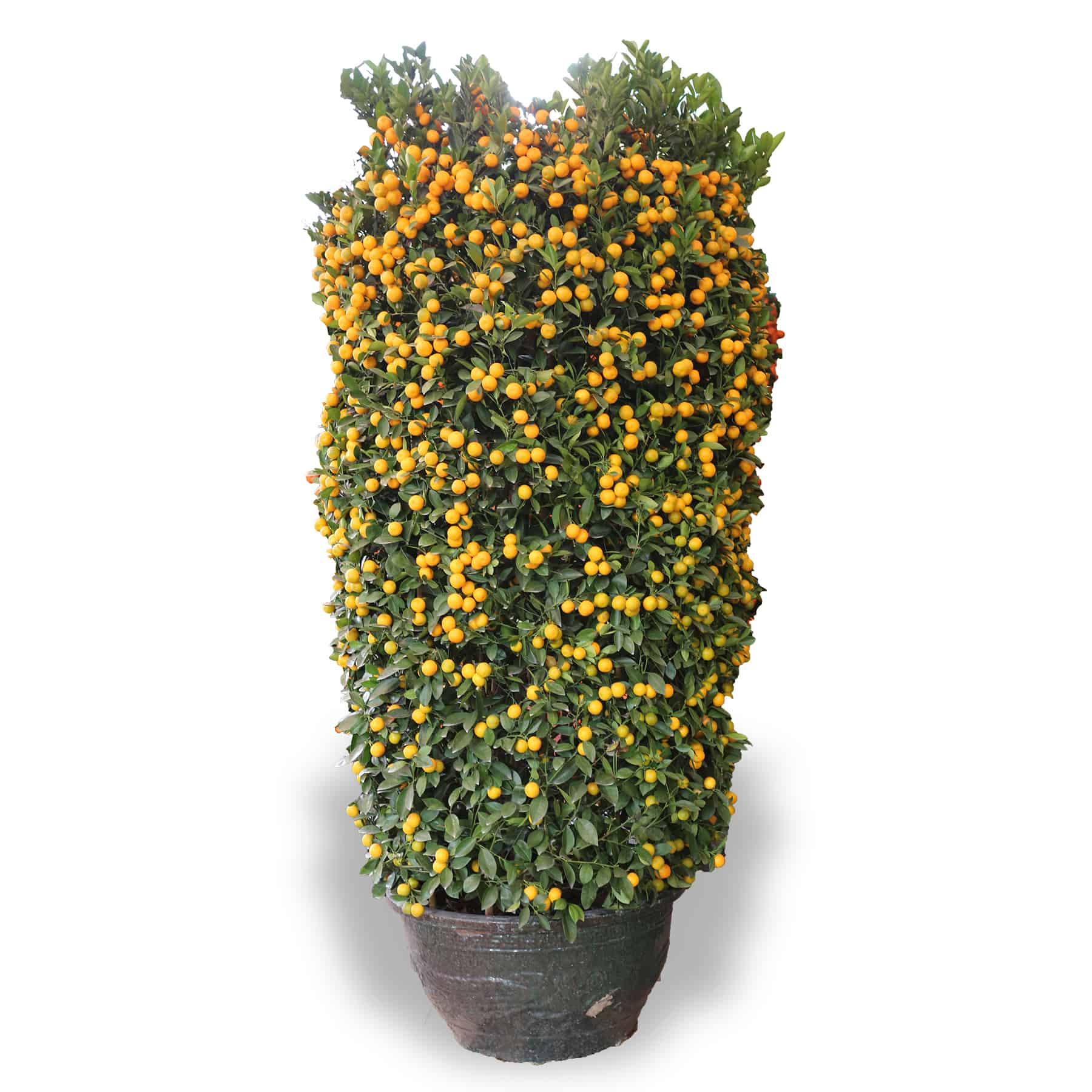 CNY lucky plants four season pot kumquat