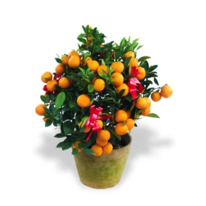 Chinese new year plants kumquat tabletop