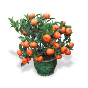 CNY Lucky plants mandarin orange table top