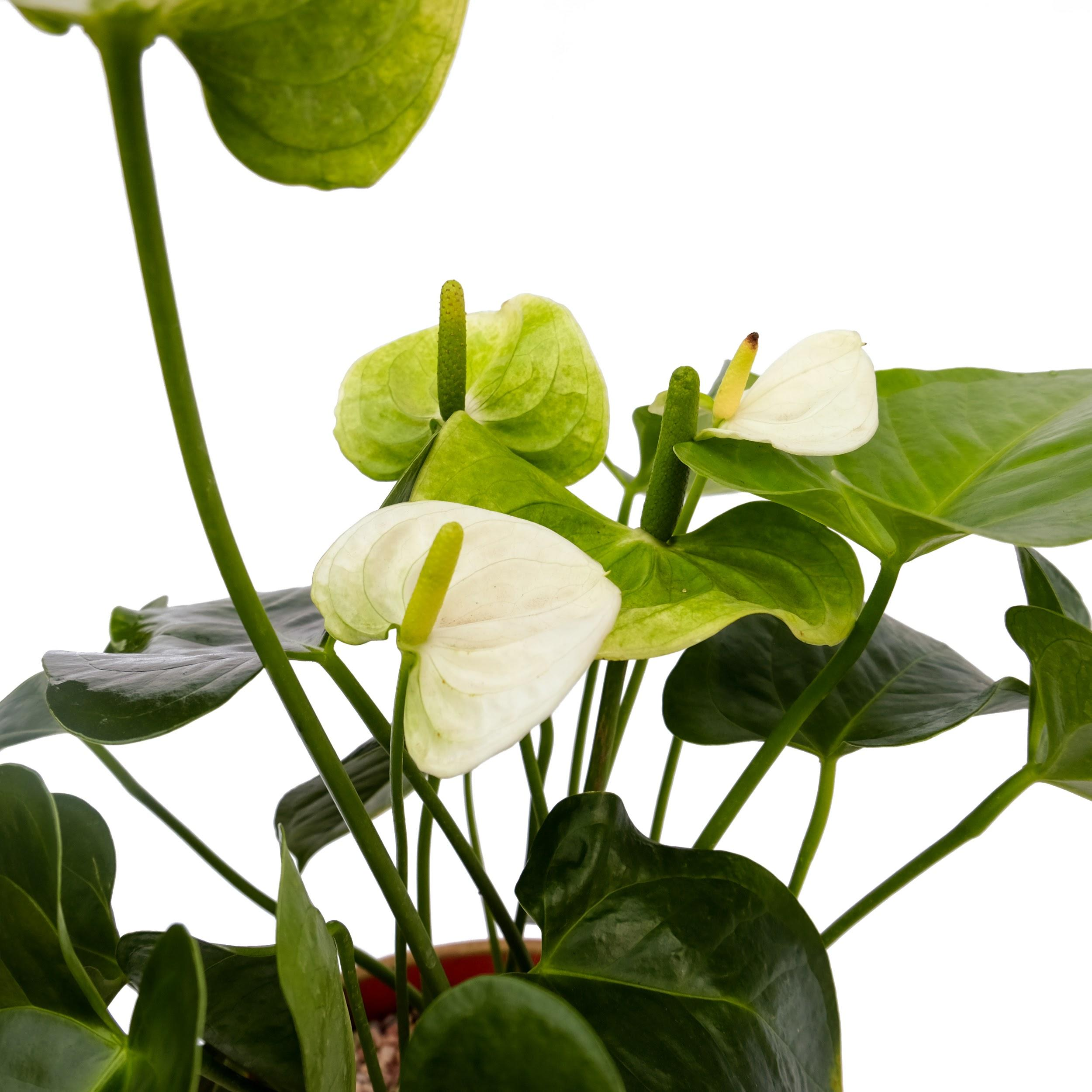 White Anthurium Fortune-2