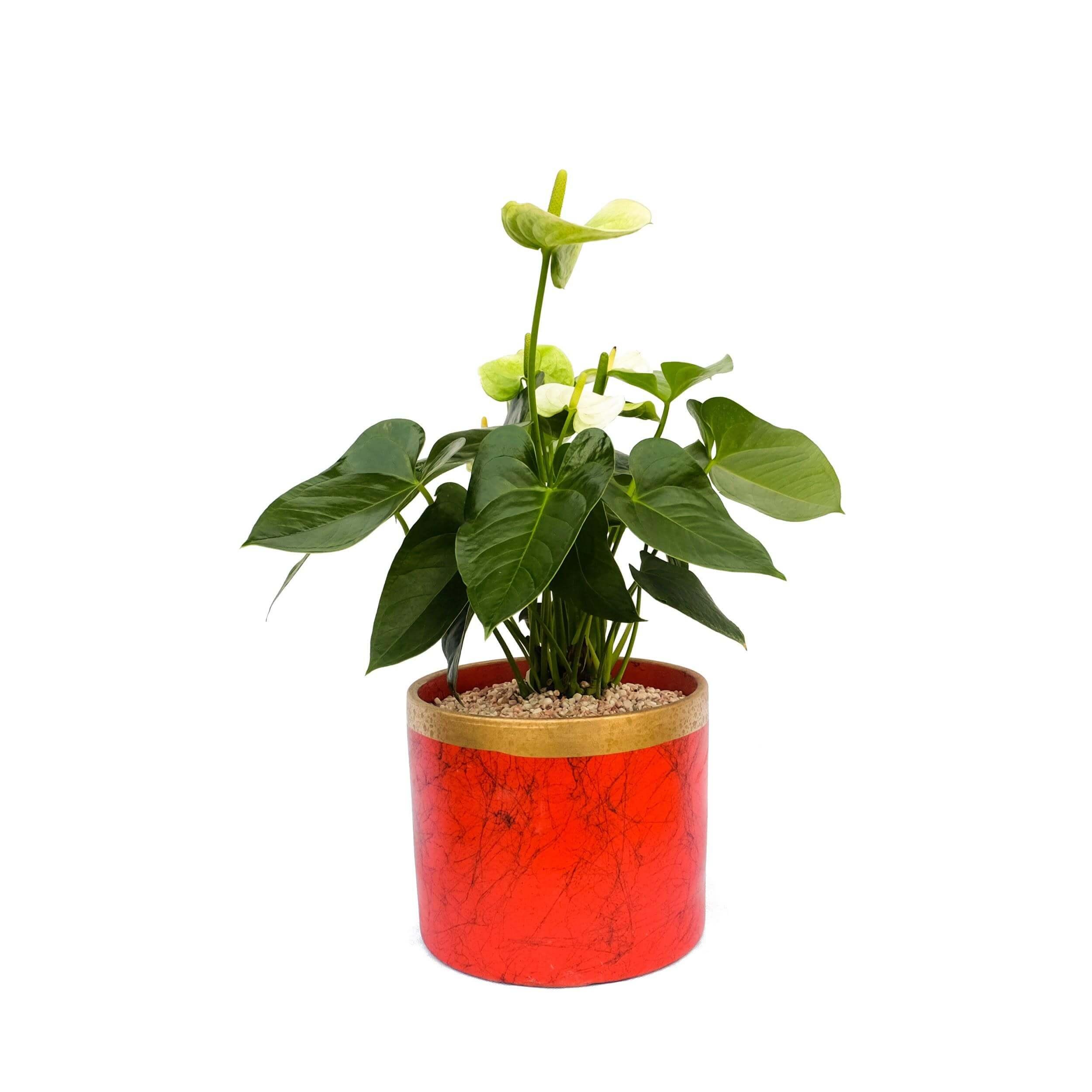 White Anthurium Fortune