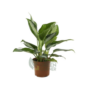 Aglaonema 'Pattaya Beauty' - Pot 120mm