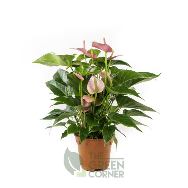 Anthurium (Pink) Pot 120mm