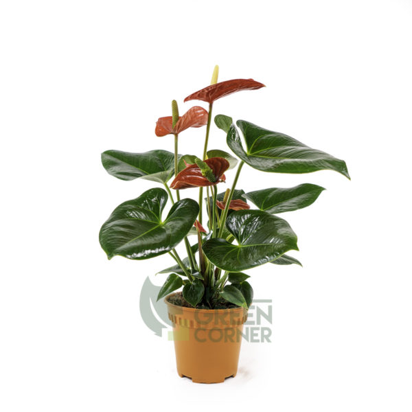 Anthurium (Red) Pot 120mm