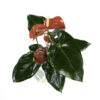 Anthurium (Red) Pot 120mm - Top