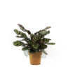 Calathea makoyana Pot 120mm