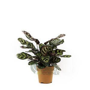 Calathea makoyana Pot 120mm