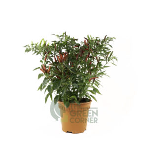 Capsicum annuum Pot 120mm
