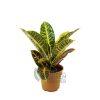 Codiaeum variegatum 'Petra' Pot 120mm