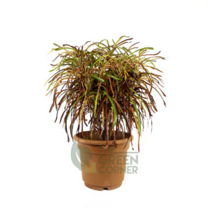 Codiaeum variegatum 'Zanzibar' Pot 310mm