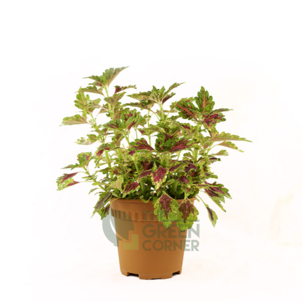 Coleus 'Wizard Rose' Pot 120mm