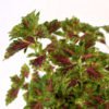 Coleus 'Wizard Rose' Pot 120mm - Close-Up