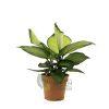 Dieffenbachia 'Camille' Pot 120mm