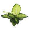 Dieffenbachia 'Camille' Pot 120mm - Top