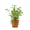 Melissa officinalis Pot 120mm