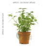 Melissa officinalis Pot 120mm - Size