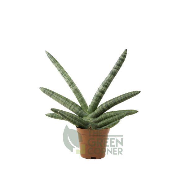 Sansevieria Cylindrica Var. Patula Boncel Pot 2.5in
