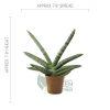 Sansevieria cylindrica var. 'Patula Boncel' Pot 2.5in - Size