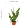 Sansevieria 'Moonshine' Pot 2.5in - Size