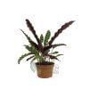 Calathea insignis Pot 230mm