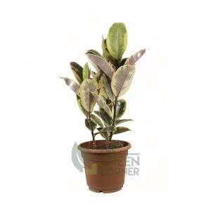 Ficus elastica Tineke Pot 310mm